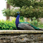 Peacocks were introduced in the garden in the 1980s and quickly made it their own.