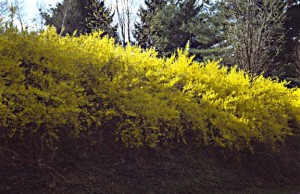 An informal hedge of forsythia makes a cheerful statement. (Photo: Lee Reich)