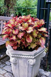 The warm color of 'Henna' coleus stands alone in this classic garden pot.