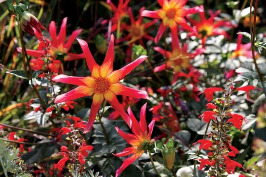 The striking red and yellow blooms of Dahlia 'Honka Surprise.'