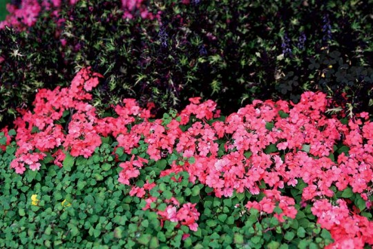 Impatiens Firefly™ Watermelon adds a sweep of big color to this flower border.