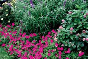 Supertunia® Mini Bright Pink has lots of electric pink flowers perfect for brightening garden edges. Pair it with Lantana and Salvia leucantha for a big garden show.