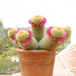 A blooming Mammilaria cactus sits on the patio parapet.