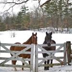 In the pasture, Riley the Quarter Horse and Diesel, a Percheron–Morgan cross, await a winter treat.