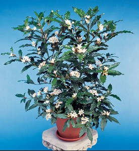 African Gardenia's blooms are beautifully white and easy to grow.