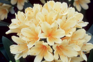 Named for Charlotte Florentia Clive, Duchess of Northumberland, clivias were brought to Europe in 1820.