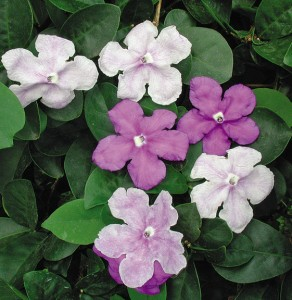 "The ""yesterday, today, and tomorrow plant"" has sweet blooms in hues of violet, which then turn soft pink and white."