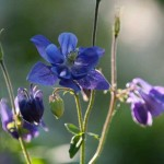 The blue columbines are self-sowing.
