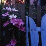 Climbers and vines in the Berkeley garden of artist Keeyla Meadows.