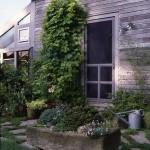 Humulus lupulus 'Aureus,' or golden hop vine, thrives beside the door at North Hill Garden in Vermont.