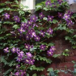 Clematis and Boston ivy growing together on a wall of brick.