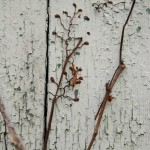 Traditional vines illustrate ways of attachment: by rootlets, tendrils, holdfasts, and twining.