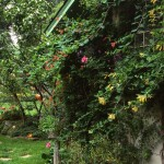 Two varieties of honeysuckle join roses on a trellised wall.