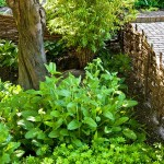 Medieval woodland plants, including sweet woodruff and betony, find shade under a quince.