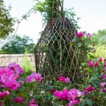 Behind the rose, a willow structure supports poet's jasmine. Willow was used for garden enclosures, fencing, arbors, and supports.