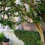 An apron of English ivy clothes the wall behind the mature cornelian cherry. Plants too tender to be over-wintered in the beds are grown in Italian terra rossa pots, identical to the pots depicted in 15th-century garden representations.