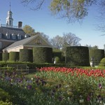 Cylinder-trimmed hedges and Dutch tulips in the formal garden at the Governor's Palace in Colonial Williamsburg.
