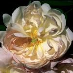 Alfred de Dalmas antique rose