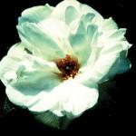 Blanc Double de Coubert antique rose