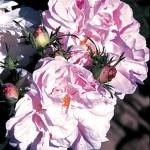 Celsiana antique rose