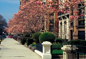 Spring in bloom along stately Commonwealth Avenue in Back Bay.