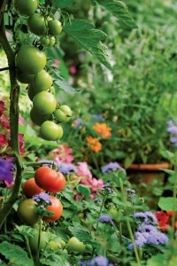 Tomatoes ripen in the summer sun along with a host of perennials.