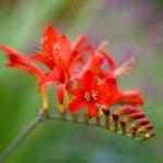 Flowers include black snakeroot, hostas, Crocosmia 'Lucifer,' and gooseneck loosestrife.