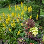 Spiny yellow spikes of ligularia rise above mounded plants and a container.