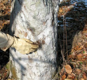 Rubbing trunks with balled-up chicken wire helps exfoliate the bark and limit pests.