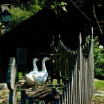 In a shady corner, the geese are protected by their shed and a fanciful picket fence.