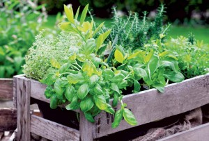 Herbs are a great addition to the kitchen garden and will add flavor and fragrance to your dishes throughout the growing season.