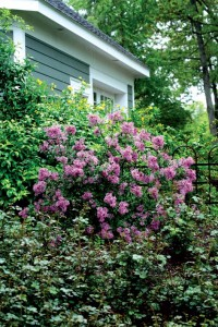 Lilacs are an old-house staple; new breeds like Bloomerang Purple have a longer growing season.