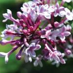 Littleleaf lilac