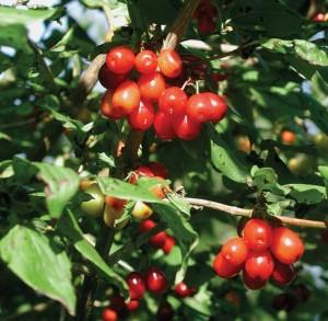 Cornelian cherry fruit