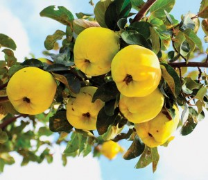 Fruits like quince may not be supermarket superstars, but they're great for old-house gardens.